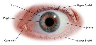 Diagram of the Anatomy of the Outer Eye | Maurer Law Firm